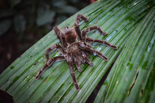 A Tarantula Spider Walks Acros...