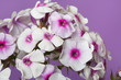 Delicate phlox flowers with bright center isolated on a pink background, close-up.