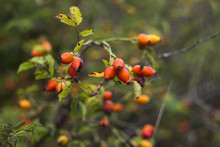 Ripe Rose Hips, Young Woman Co...