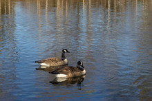 Pair Of Two Canada Geese Swimm...