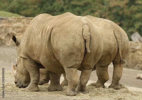 Two Rhinos 1