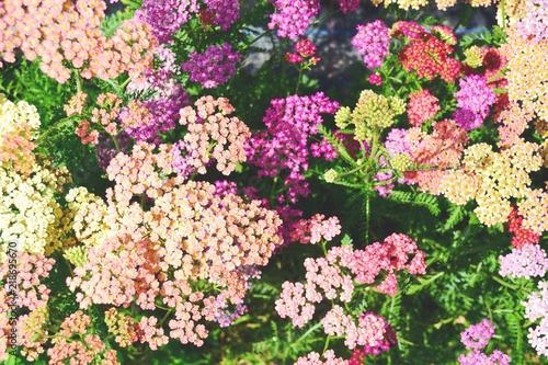 Herbstblumen Sommerblumen Schafgarbe Buy This Stock Photo And