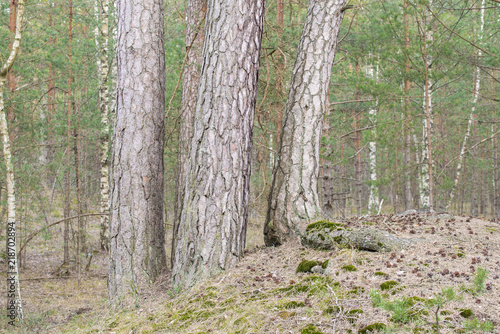 Foto auf Acrylglas Wald im Nebel A view of the pine tree forest on a cloudy spring day, Latvia