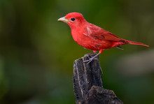 A Perched Summer Tanager Photographed In Costa Rica
