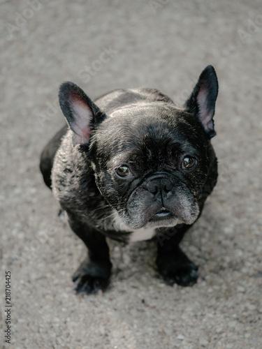 Foto op Plexiglas Franse bulldog Cute Brindle Frenchie