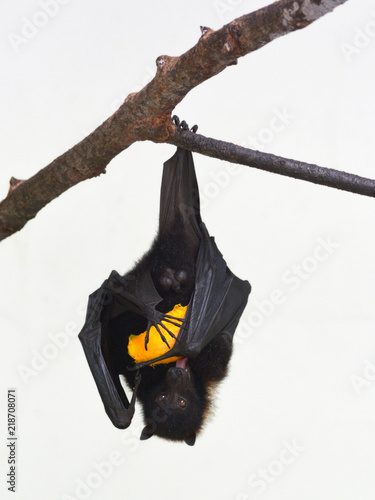 Fiji Flying Fox isolated on white background