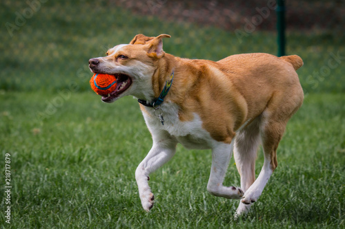 Photo Texas Heeler Plays Fetch and smiles after catching orange tennis ball