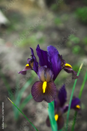 Iris flower blooming in the garden. Shallow depth of field.