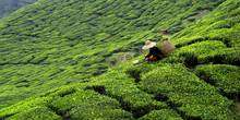 Worker Picking Tea Leaves In T...