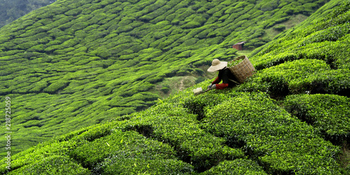 Fotografía Worker picking tea leaves in tea plantation