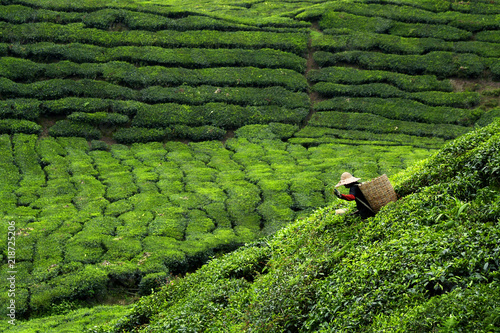 Fotomural Worker picking tea leaves in tea plantation