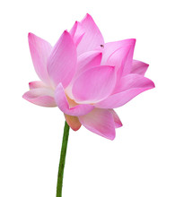 Close Up Pink Lotus Flower Hig...