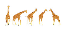 Giraffe Vector Illustration Isolated On White Background. African Animal. Tallest Animal. Safari Trip Attraction. Big Five. Group Of Many Giraffe In Different Poses.
