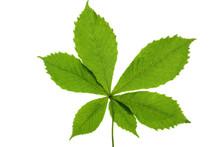 Green Buckeye (horse Chestnut)...