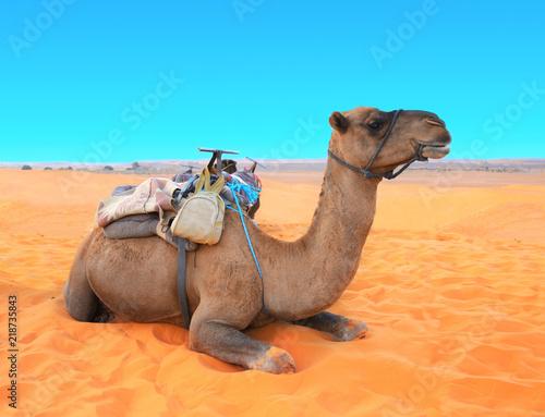 Camel in Sahara desert, Morocco