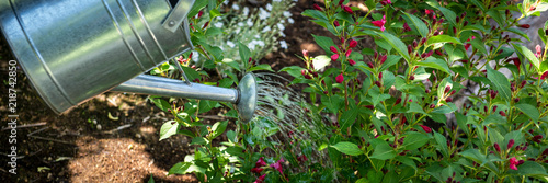 Obraz Watering flowerbed using watering can. Gardening hobby concept banner. - fototapety do salonu