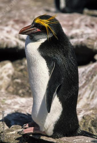 Gorfou doré, manchot gorfou macaroni, Eudyptes chrysolophus, Macaroni Penguin