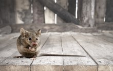 Gray Small Cute Mouse On Woode...