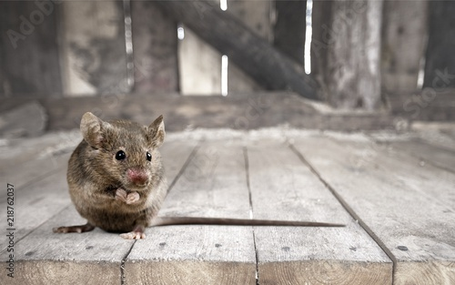 Gray small cute mouse on wooden background