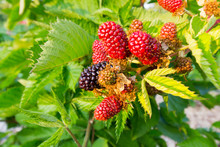 Close Up Of Blackberries Ripening On A Plant - Variety Is Waldo