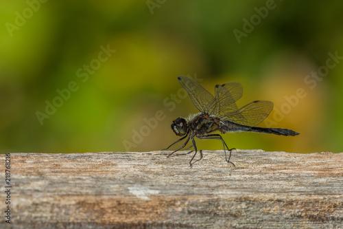 Schwarze Heidelibelle - Sympetrum danae im Hochmoor