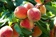 Natural Fruit. Peaches On Peac...