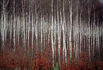 Fototapeta Brzoza Lines of birches