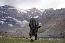 Donkey Grazing In The Mountain Valley With The View Of The Snowy Peaks In The Background, Fann Mountains, Tajikistan