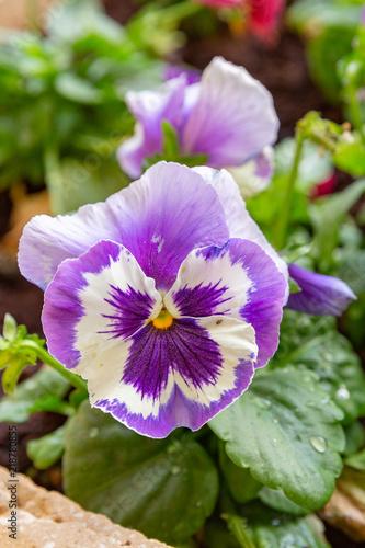Staande foto Pansies Pansies of bright violet color