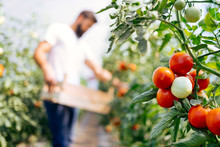 Harvest Ripening Of Tomatoes I...