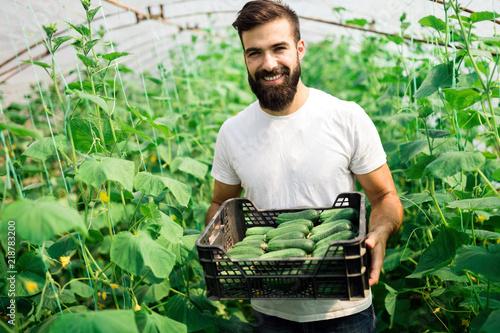 Fototapeta Male farmer picking fresh cucumbers from his hothouse obraz