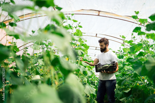 Fototapeta Farmer checking cucumber in a greenhouse