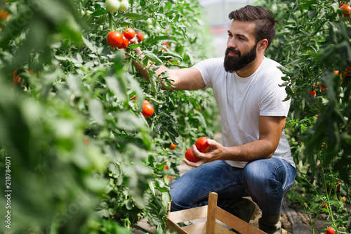 Caucasian farmer picking fresh tomatoes from his hothouse Fototapeta