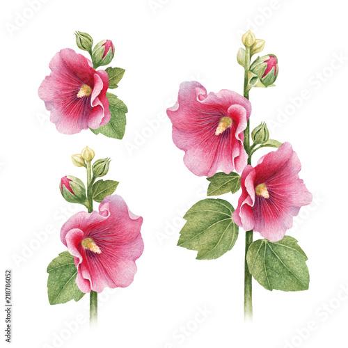 Akwarela ilustracje kwiatów malwy