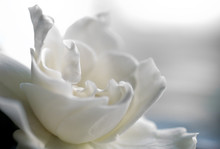 White Gardenia Bloom In Soft F...