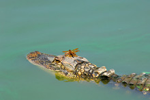 Halloween Pennant Dragonfly Riding On An Alligator's Head In Turquoise Green Algae Water During Drought In Fakahatchee Strand, Florida
