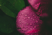 Floral Natural Background From Pink Wet Peony Flower Petals With Water Drops