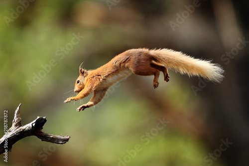 Spoed Foto op Canvas Eekhoorn Red Squirrel flying