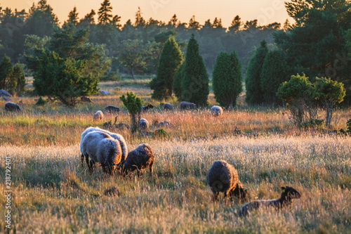 Spoed Fotobehang Schapen Sheep from the Island Gotland