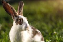A Domestic Rabbit In The Grass...
