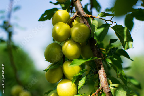 Yellow plums on branch in orchard