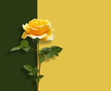 Beautiful yellow rose with green leaves on  multicolored background