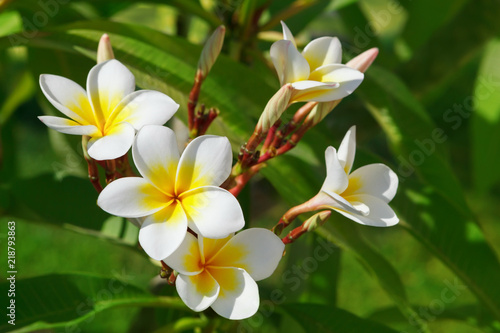 Keuken foto achterwand Frangipani Beautiful, white flowers of Plumeria (Latin name - Plumeria) in natural conditions