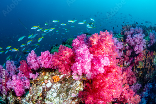 Poster Coral reefs Beautiful, colorful but delicate soft corals on a tropical coral reef in Asia