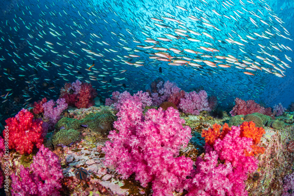 Fototapeta Huge numbers of colorful tropical fish swimming around a beautiful coral reef