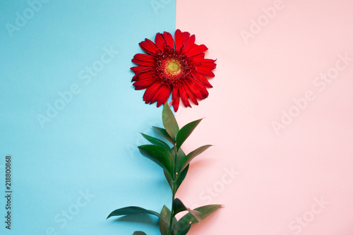 minimalist Flat lay, pastel colors, gerbera flower, green branch on the pink blue background