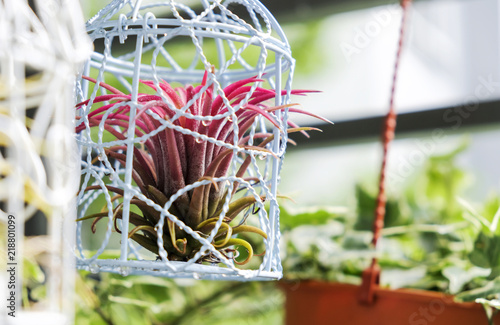 Fotografia  Tillandsia in bird cage decoration in the small garden at balcony