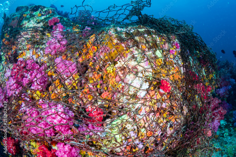 A beautiful, colorful coral pinnacle completely wrapped by a huge, abandoned fishing net