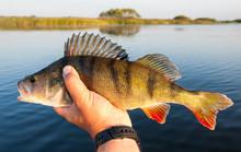 Perch Fishing In The Summer Season