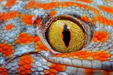 Colorful Toke's Gecko Amazing ...
